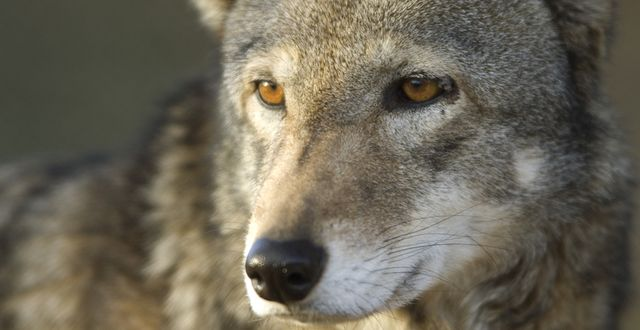 No More Delays—Commit to Recovering Endangered Red Wolves  https://takeaction.takepart.com/actions/no-more-delays-commit-to-recovering-endangered-red-wolves