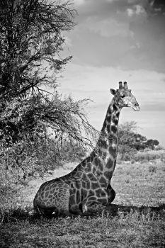 BW Sitting Giraffe 20x30 Photographic Print Artist: Benson, Shannon Artwork title: Giraffe (Giraffa camelopardalis), Namibia, Africa Price: $150AUD
