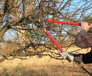 Summer pruning should start when the new growths are a few inches long, and should be restricted to removing all of the water shoots, and simple thinning of the structure where absolutely necessary. Summer pruning of apple trees should be done in early August and be finished by end of August.