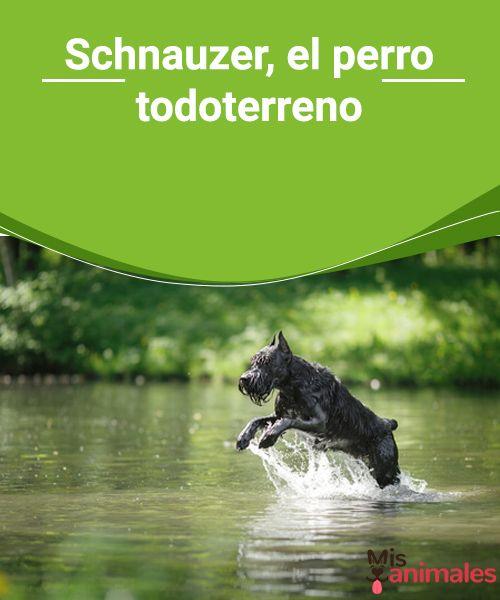 Schnauzer, el perro todoterreno  El schnauzer es un perro elegante, ágil y robusto. Es conocido por su gran inteligencia, su valentía y su enorme lealtad. #perro #raza #curiosidades #todoterreno