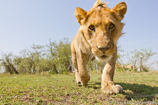 An inquisitive cub.