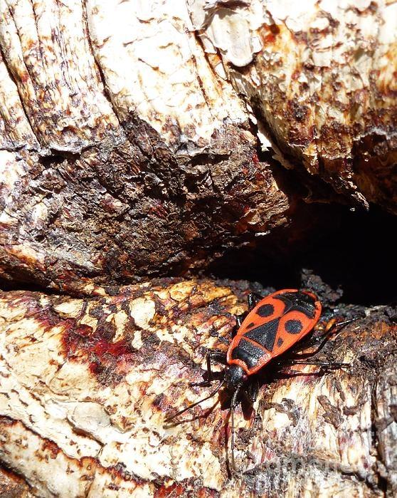 Firebug Chrysalide