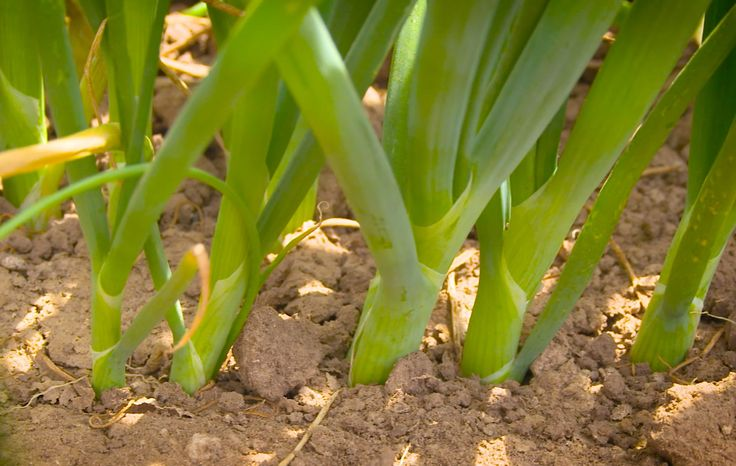 11 best Farm to Wok™ images on Pinterest | 10 years, Green onions ...