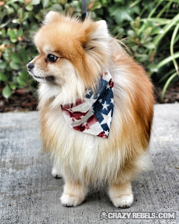 pomeranian collar fluffy and festive in his freedom bandana collar 2074