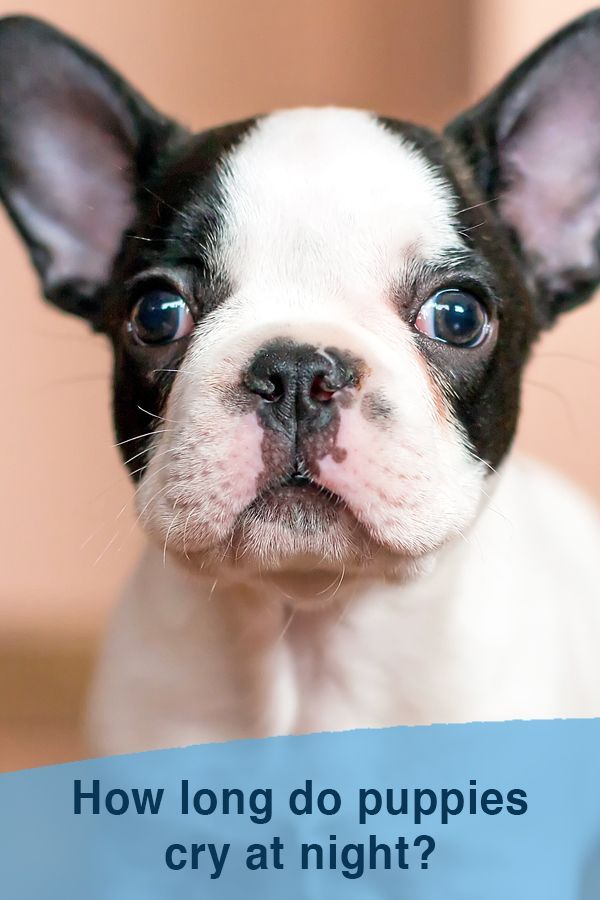 How Long Do Puppies Cry At Night Crying At Night Puppy
