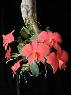 Sophronitis brevipedunculata 'Diamond Orchids'