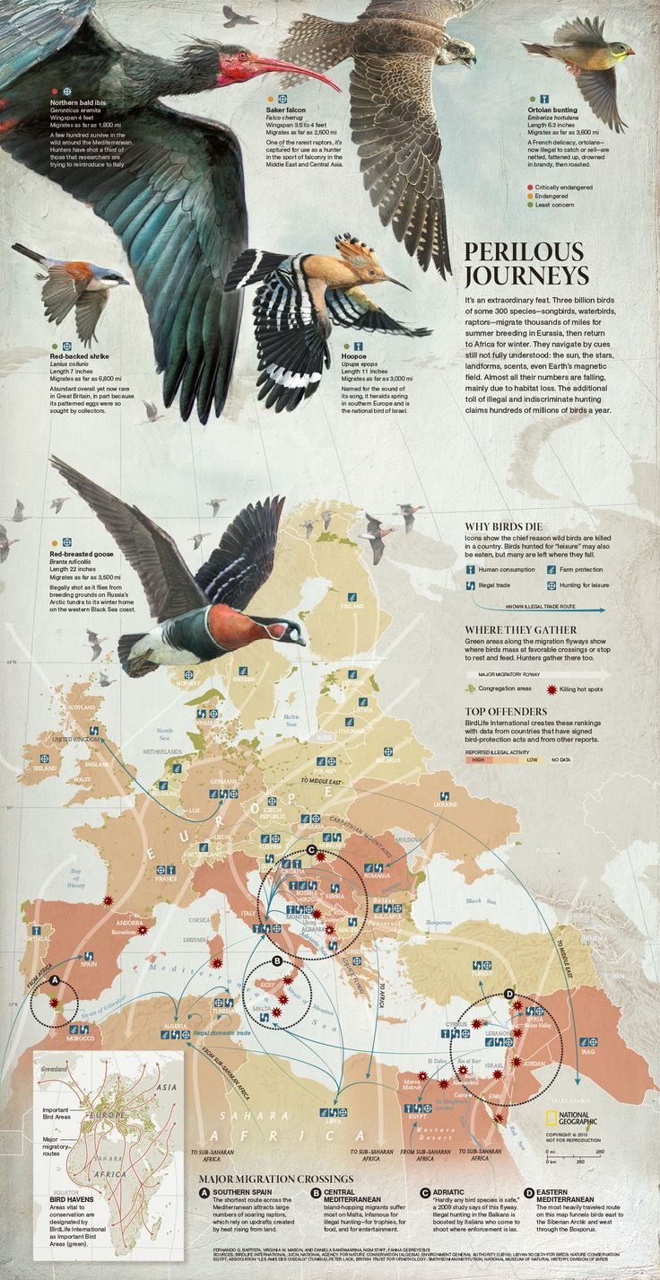 PERILOUS JOURNEYS --- This map shows main flyways and areas where illegal and indiscriminate hunting happens, claiming hundreds of millions of #birds a year. By Fernando Baptista, Virginia W. Mason and Daniela Santamarina. Published on July 2013. More info at http://ngm.nationalgeographic.com/2013/07/songbird-migration/masters-of-migration