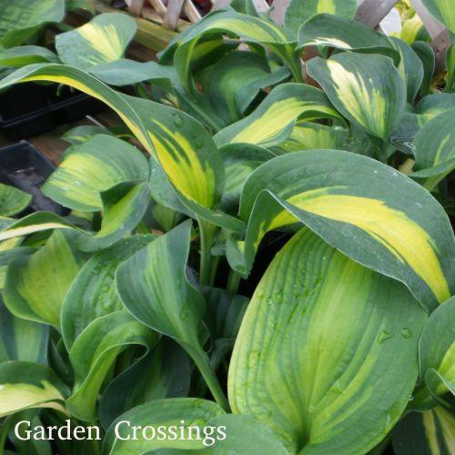 http://www.gardencrossings.com/plantname/Hosta-Lakeside-Shore-Master