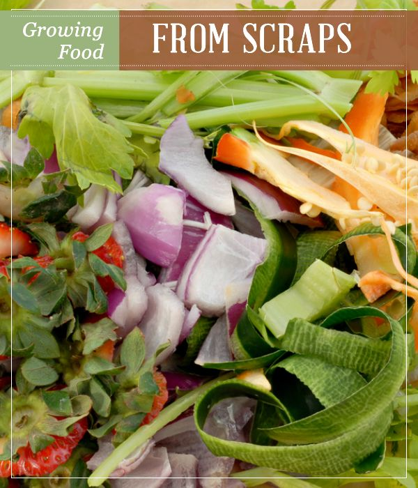 Growing Food From Scraps | Self-Sustaining Ideas For Living The Homesteader's Dream | Best Homesteading Tips For Beginners by Pioneer Settler at http://pioneersettler.com/self-sustaining-ideas-living-homesteaders-dream/