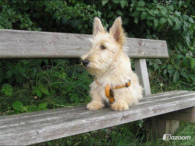Scotties | Skotsk terrier Whisky Best of Scotties - et lille hvil efter en lang ...