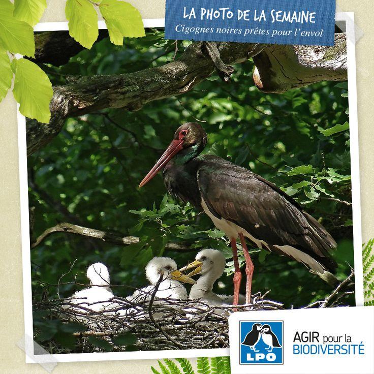Sur les 33 nids de Cigognes noires recensées en 2013 par le réseau ONF-LPO, 26 nichées se sont envolées ou se préparent à quitter le nid.  D'ici quelques jours, les observations de jeunes Cigognes noires vont se multiplier. Peu farouches, elles sont parfois observées, posées sur les toits ou dans les jardins.  En savoir plus sur la Cigogne noire : http://www.cigogne-noire.fr/  Crédit photo : Fabrice Croset / LPO