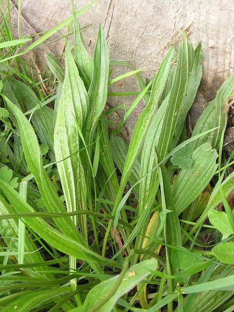 """Smalbladige weegbree - Plantago lanceolata (Onze groenten en onze wilde vruchten bij de keuken aangepast - A. Bracke 1941) """"Zij passen bij soepen, die klaargemaakt worden met paardenbloemen, of met netels, of met vogelmuur. Door het afkoken van de bladeren bekomt men een goeden gorgeldrank tegen de keelkwalen."""""""