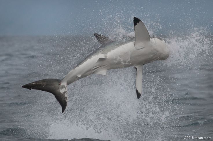 The distinctive white belly floating white shark on display at Seal Island area. South Africa