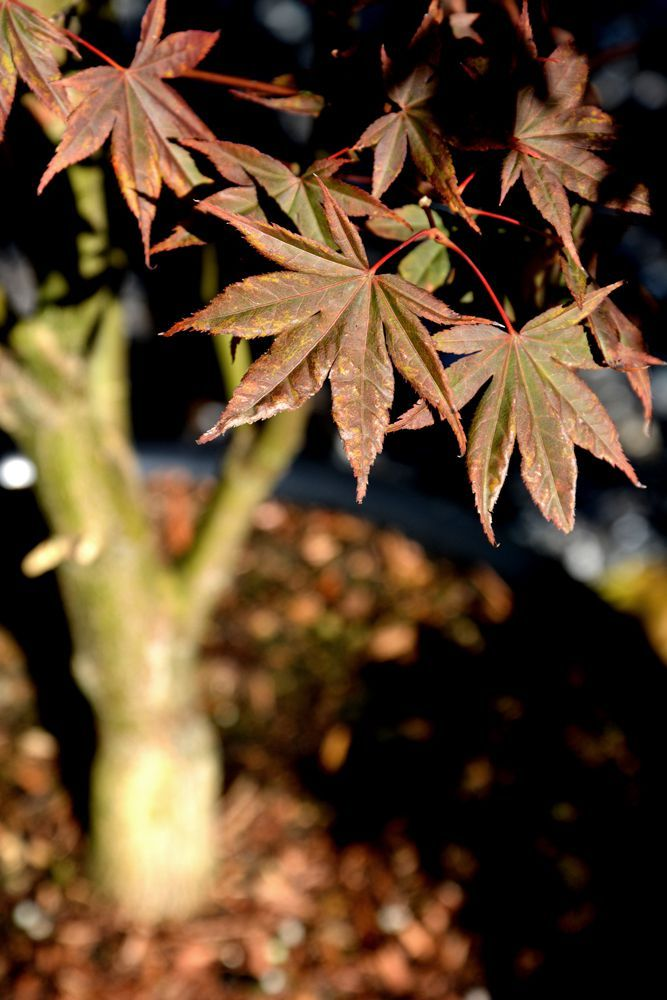 Roter Fächerahorn Bloodgood - Acer palmatum Bloodgood günstig online kaufen #Ahorn #Fotografie #Garten #Natur #Laub #Herbst #Farbe #Pflanze #Baum