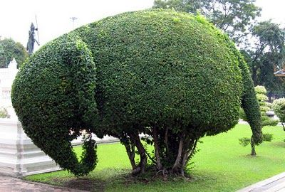 Elephant shrub -  here we go, this should fit perfectly in the front!
