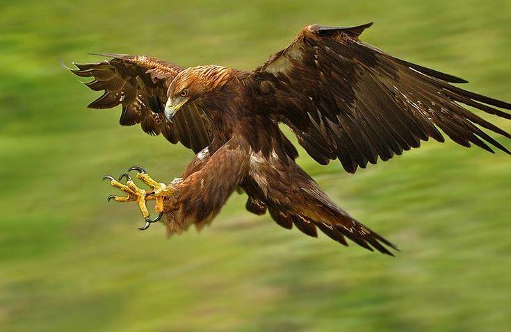american golden eagle hd pic eagles golden eagle