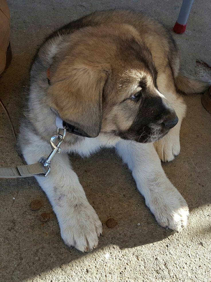 Cachorro hembra de Mastin Español -Spanish Mastiff