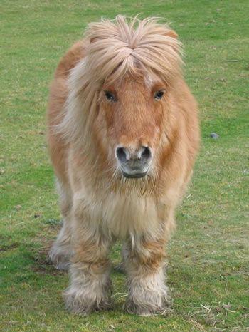 I would so love a Shetland Pony!