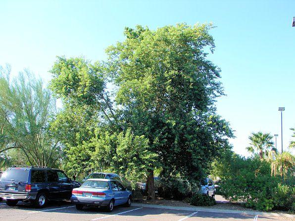 660 Credit Score >> Indian Rosewood, Dalbergia sissoo. Also Called: Sissoo Tree, India Teakwood, Hindi- Shisham ...
