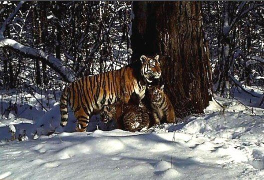 Historic image of tiger and her cubs
