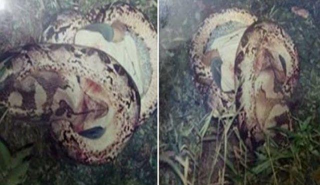 Kisah ngeri yang dilupakan yang pernah mengemparkan Malaysia suatu ketika dahulu   Kisah ngeri yang dilupakan yang pernah mengemparkan Malaysia suatu ketika dahulu  Ular sawa adalah salah satu spesies ular terbesar di muka bumi. Dengan tubuh besarnya itu tidak pelik jika ular sawa ini boleh menelan seekor kambing bahkan lembu.  Namun walaupun ular sawa boleh menelan apa saja yang lebih besar darinya jarang sekali dengar kes ular sawa menelan manusia hidup-hidup.  Di Malaysia pernah…