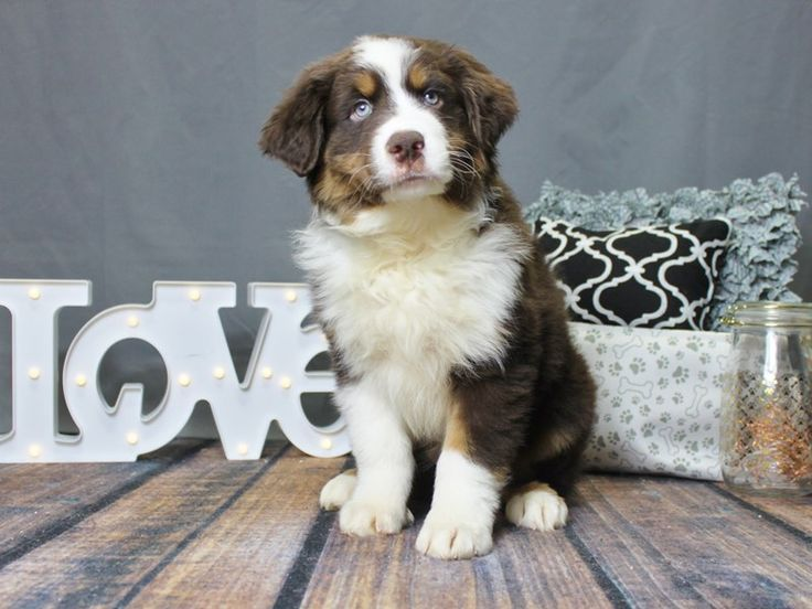 Checkout this cute Australian Shepherd (#12958) at Petland Carriage Place