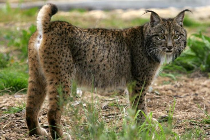 São 175 as espécies ameaçadas de extinção no Livro Vermelho dos Vertebrados de Portugal, publicado em 2005. Passados 12 anos, como está a vida selvagem portuguesa? Neste Dia Mundial da Vida Selvage…