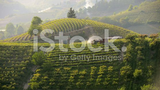 Work in the Vineyards in Langhe - Roero at sunset royalty-free stock photo