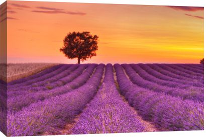 English Lavender Field With Tree At Sunset, Valensole, Valensole Plateau, Alpes-de-Haute-Provence, Provence-Alpes-Cote D Azur, Provence, Fra...