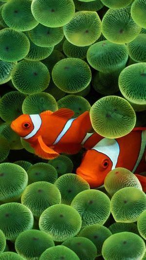 Clown fish by VoyageVisuelle