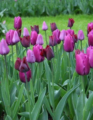 Purple Prince Single Early Tulip #DreamSpringGarden