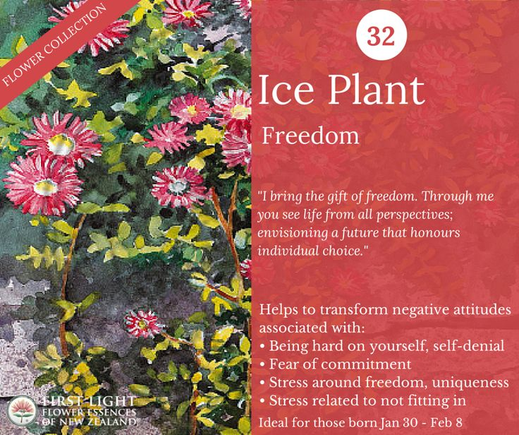 Ice Plant - Freedom - helps to experience inner freedom and to understand that everyone has their own place on the evolutionary spiral of life with unique lessons to learn and valuable contributions to make to society. Use when feeling judgemental and rigid, being hard on yourself, worrying about being different or not belonging. A personal power flower for those born Jan 30 - Feb 8 (Aquarius).
