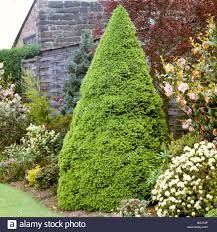 Image result for Picea glauca var. albertiana 'Conica' winter