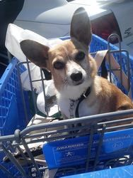PIXIE is an adoptable Chihuahua Dog in Owensboro, KY. PIXIE is a corgi/chihuahua mix approximately 2 years old.� She does well with other animals and usually growls when she doesn't get attention befo...