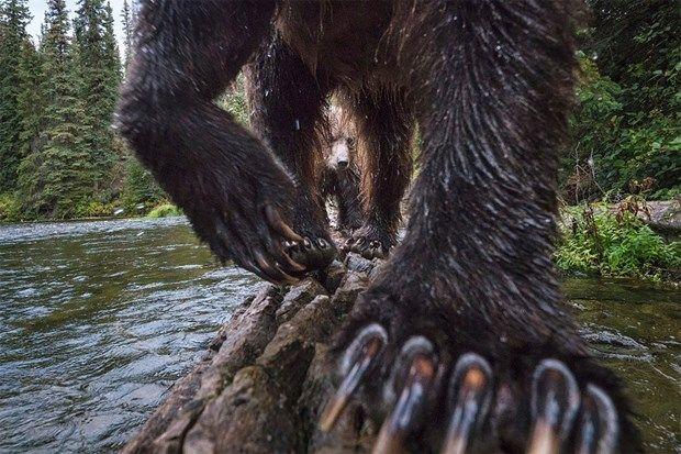 2017'nin En İyi Vahşi Yaşam Fotoğrafları Belirlendi! | Sanat Karavanı / Karasal vahşi yaşam finalisti: Peter Mather (Kanada)