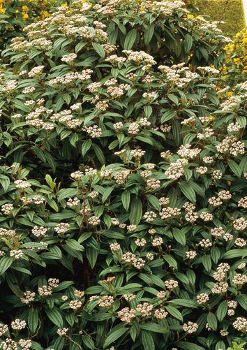 Les 25 meilleures id es de la cat gorie arbuste persistant sur pinterest arbuste persistant - Arbuste decoratif persistant ...