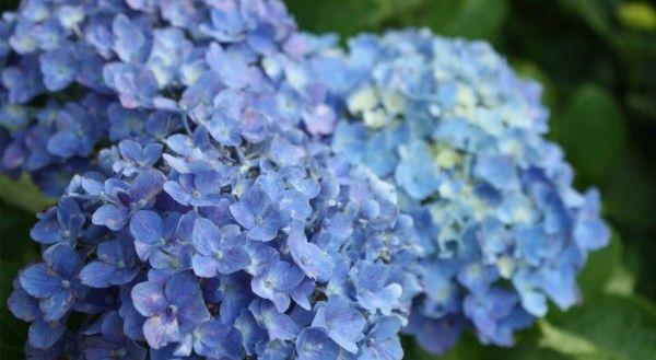 Tuinieren met Bakker » Alles over de Tuin en TuinierenHoe krijg je een mooie blauwe hortensia? | Tuinieren met Bakker