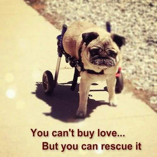 Pug Rescue Network (@pugnetwork) | Twitter
