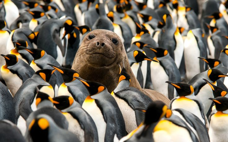 A young male elephant seal relaxes on Macquarie Island in Tasmania, Australia, surrounded by a colourful colony of breeding king penguins.The seals and penguins share the picturesque island but usually reside on opposite ends - until this curious pup set out to prove he was the real king of the beach.