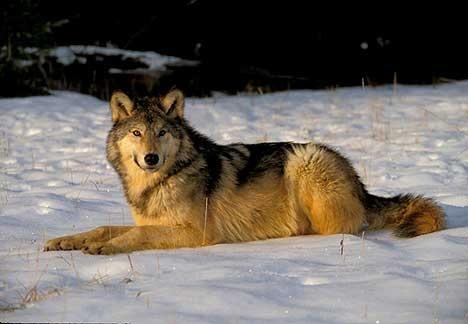 Art History Essay Saving Wolves Essay Saving Wolves Essay  Causes Of Civil War Essay also Charles Dickens Essay Saving Wolves Essay  Term Paper Help Paraphrasing In An Essay