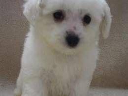 Bichon Frise Girl Pure bred full pedigree | Crewe, Cheshire | Pets4Homes