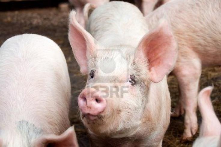 Google Image Result for http://us.123rf.com/400wm/400/400/janecat/janecat1208/janecat120800019/14799378-pigs-in-pig-sty.jpg