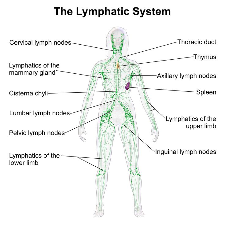 13 best major body systems images on pinterest   body systems, Muscles