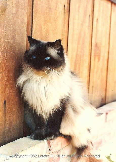 #Our Seal Point Himalayan Cat  Like,Repin,Share, Thanks!