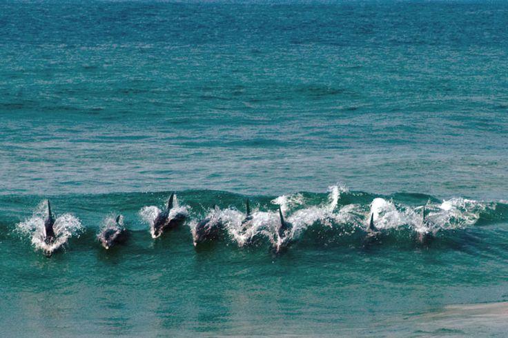 Dolphins near East London, South Africa