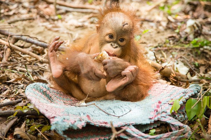 Nat Geo Wild presents 'Orangutan Rescue: Back to the Wild', a one-off special ...