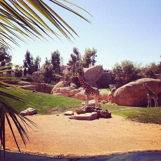 Giraffe in Bioparc Valencia. Lovely place!