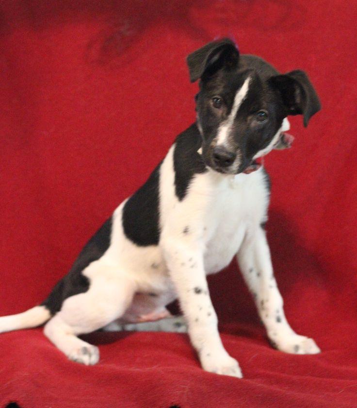 Adopt Beau On Adoption Humane Society Terrier