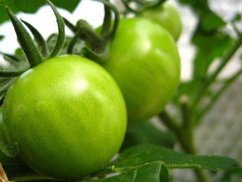 """Как """"поторопить"""" томат, чтобы он побыстрее покраснел?"""