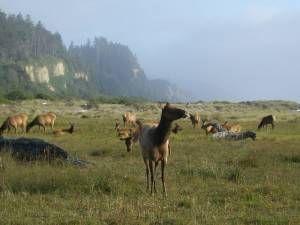 Lady+Bird+Johnson+Grove+Orick+California+Redwood+National+Park+deer